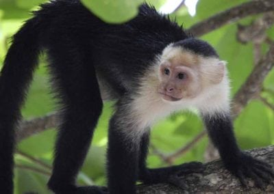 White Face Capuchin Monkey